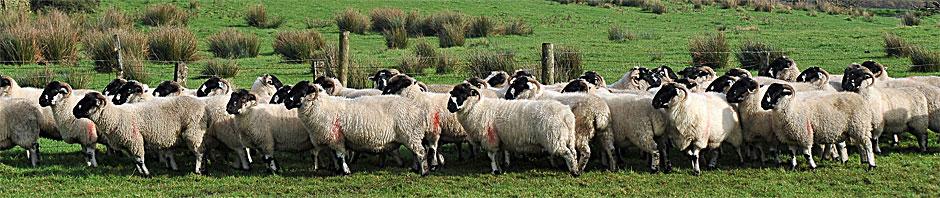 The Lonk Sheep Breeders' Association